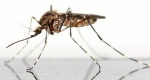 Wie lange leben Mücken